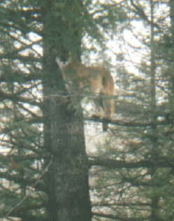Hunt Cougar with  York Outfitters in Idaho
